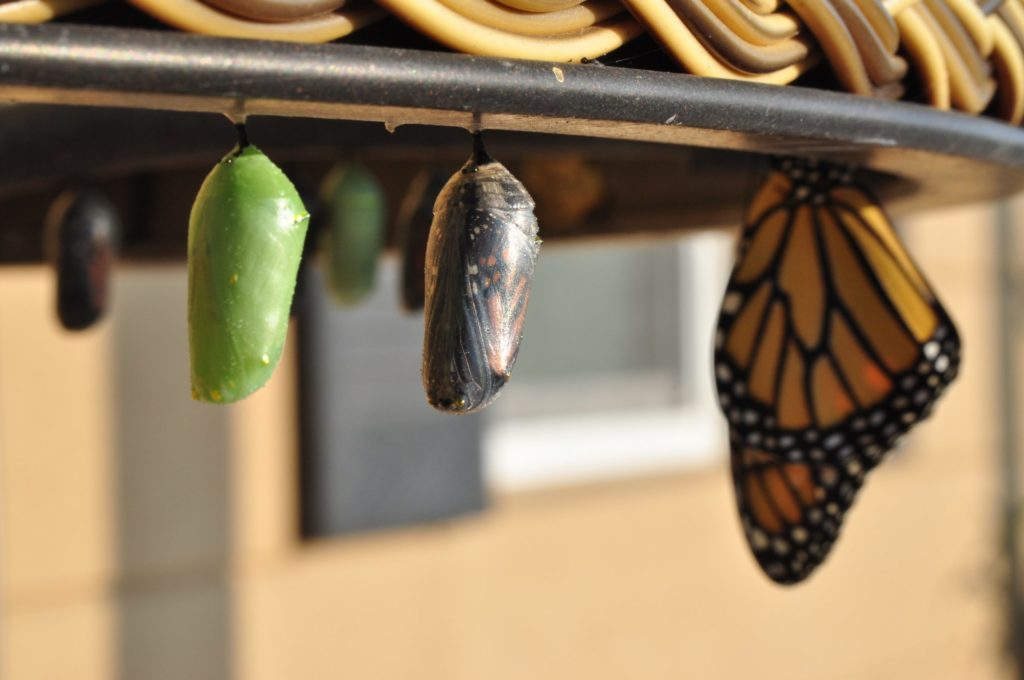Monarch butterfly molting